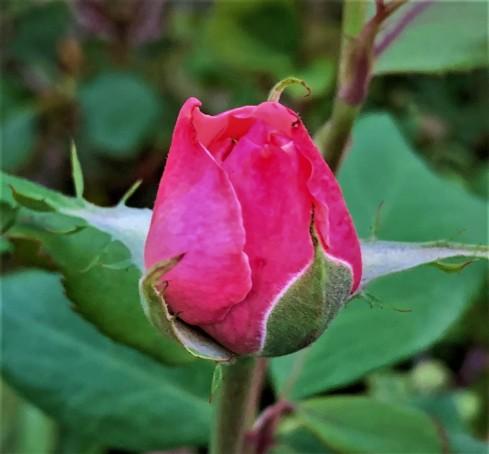 rosebud (2)